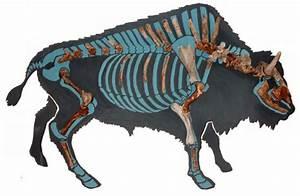 The Restoration Of Bison Skeleton From Grigorievka