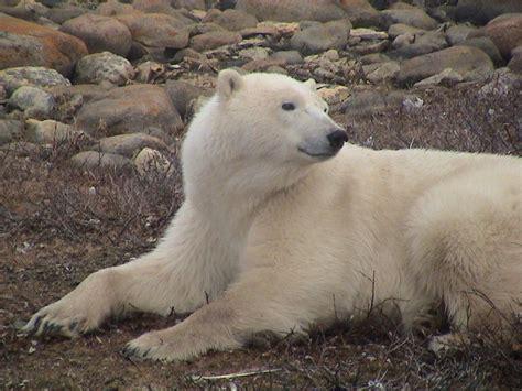 long  polar bears summer  land san diego zoo