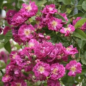 Rosen Düngen Im Frühjahr : purpurtraum 2000 rosen online kaufen im rosenhof schultheis rosen online kaufen im rosenhof ~ Orissabook.com Haus und Dekorationen