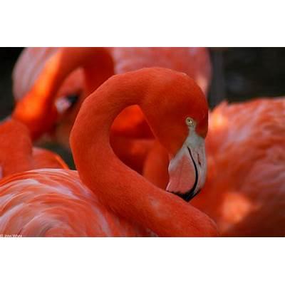 CalPhotos: Phoenicopterus ruber; Flamingo