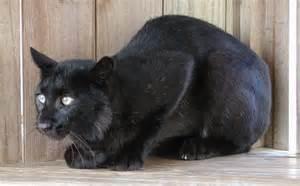 Black Bobcat Animal