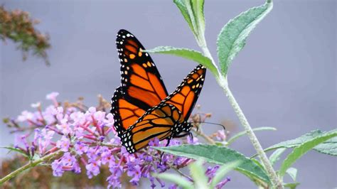 Hd Butterfly Hd Wallpapers 1080p For Your Image Wallpapers