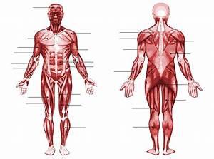 Human Muscle Anatomy Quiz