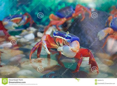 crab colors colorful crab in a fish tank stock photo image 59506479