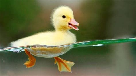 duck facts 10 interesting animal facts my interesting facts