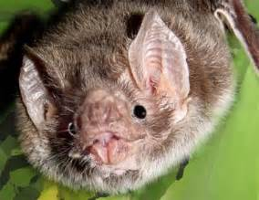 Interesting Facts About Vampire Bats