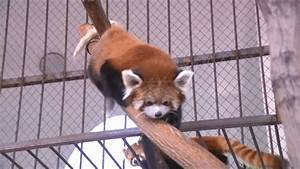 Red Panda GIFs - Find & Share on GIPHY