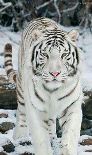 25 Best White Tiger Photographic | Animals beautiful ...