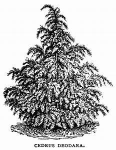 Cedrus Deodara Tree ~ Free Vintage Clip Art | Old Design ...