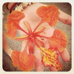 1000+ images about Flamboyant on Pinterest | Delonix regia ...