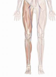 Cardiovascular System Of The Leg And Foot
