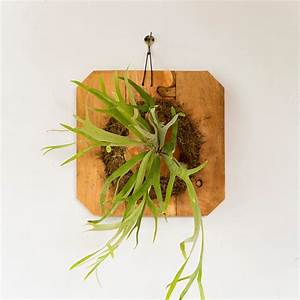 Mounted Staghorn Fern, Large Terrain
