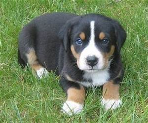 Appenzeller Mountain Dog Info, Temperament, Puppies, Pictures