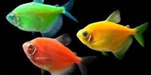 Bilder Mit Fischen : gentechnik bei fischen vor allem zum spa gentechnik bei tieren ~ Frokenaadalensverden.com Haus und Dekorationen