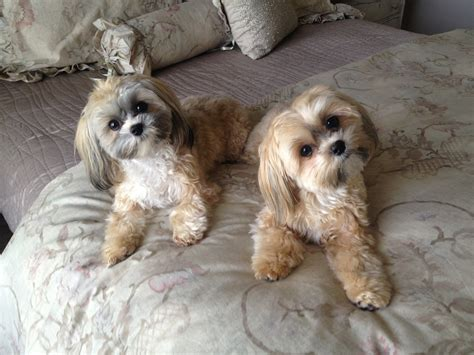 do shorkie poos shed 1000 images about haircuts for lola on