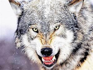 Einen Grünen Daumen Haben : wolf soll jogger am daumen verletzt haben panorama badische zeitung ~ Markanthonyermac.com Haus und Dekorationen