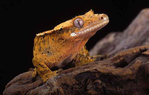 crested gecko lighting crested gecko tank and habitat