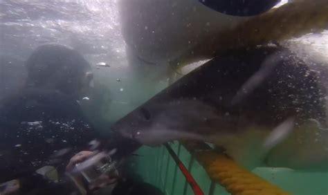 aquarium grand requin blanc un requin taureau enceinte attaque le bras d un soigneur dans un aquarium