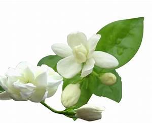 Jasmine Flower ... Mogra Quotes