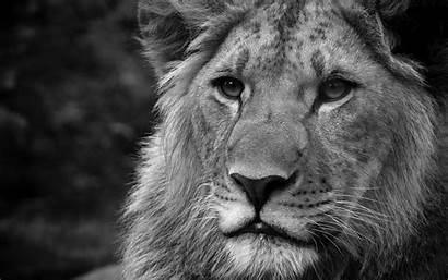 Lion Wallpapers Desktop Lions Male Background Roaring