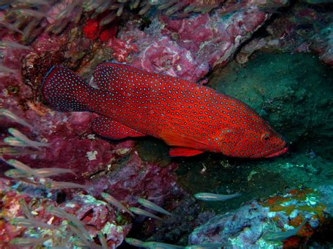 grouper coral groupers fish colorful