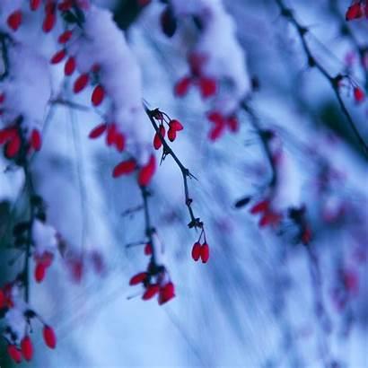 Winter Ipad Berries Wallpapers Snowy Air Branch