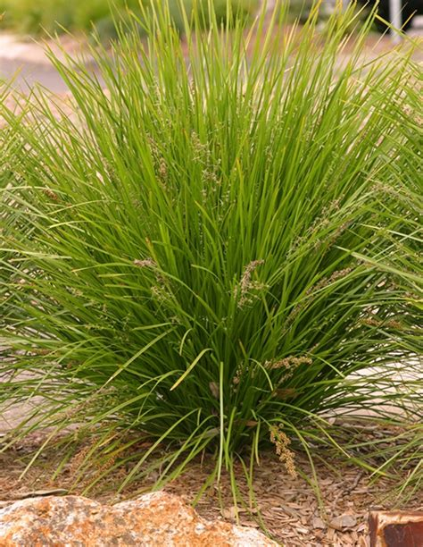Native Grasses — Plants Plus Cumberland Forest