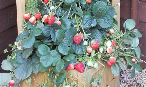 Climbing Strawberry Skyline Plants Groupon