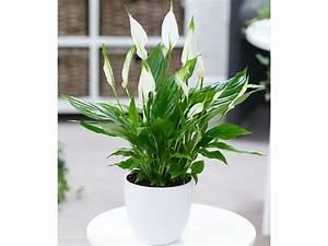 Pflanzen Bei Lidl : spathiphyllum 1 pflanze ~ A.2002-acura-tl-radio.info Haus und Dekorationen