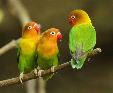 fischers lovebird wikipedia