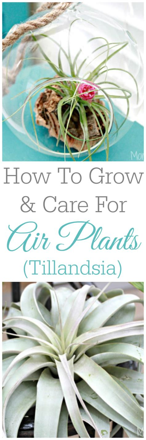how to grow tillandsia how to grow and care for air plants tillandsia mom 4 real