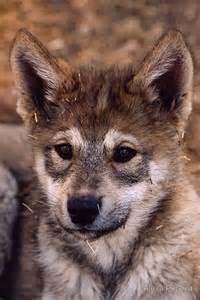 Alaskan Timber Wolf Cubs