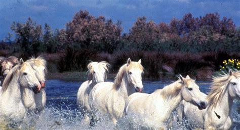 Camargue Pferde » Bild, Schimmel, Pferde, Camargue