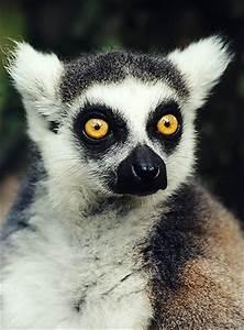 b3takit | Lemur Eyes