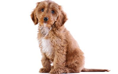 cockapoo guide breed temperament health canna pet