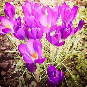 7 Tage 7 Bilder KW10 Krokus im Garten der Frühling kommt