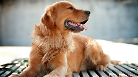 golden retriever dog wallpapers hd wallpapers id