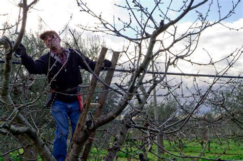 alte kirschbäume schneiden kirschb 228 ume verj 252 ngen 187 so geht s