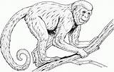 Monkey Coloring Pages Realistic Monkeys Printable Spider Adults Baboon Howler Colouring Drawing Line Clipart Rainforest Faced Primate Guenon Primates Drawings sketch template