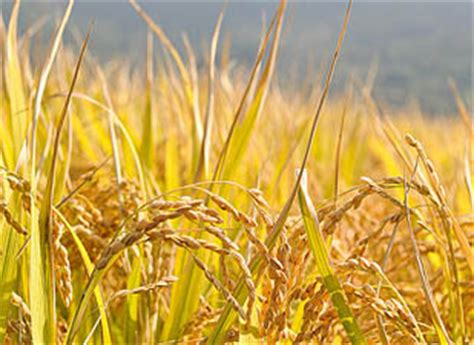 crop yields stall  china india asian scientist