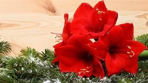 Amaryllis In Der Vase : amaryllis und ritterstern richtig pflegen ~ Lizthompson.info Haus und Dekorationen