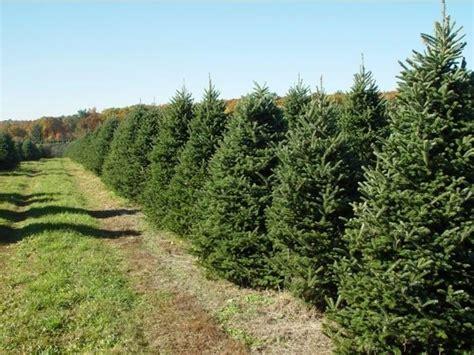 pini da giardino pini per realizzare siepi siepi pini per siepi