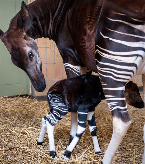 La Famille Des Okapis S'agrandit Au Zoo D'anvers