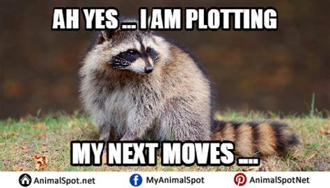 Excellent Raccoon Meme - raccoon excellent meme 100 images the best hairless raccoon memes memedroid evil plotting