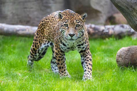 Jaguar   Reid Park Zoo