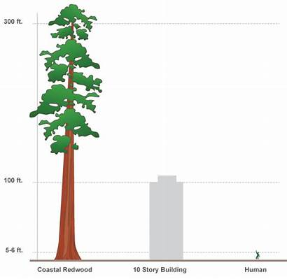 Redwood Height Animate Human Scale Edge Comparing