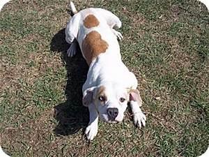 Maddie   Adopted Dog   Tampa, FL   American Bulldog/Basset ...