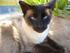 siamese cat for siamese cats images beautiful siamese hd wallpaper and