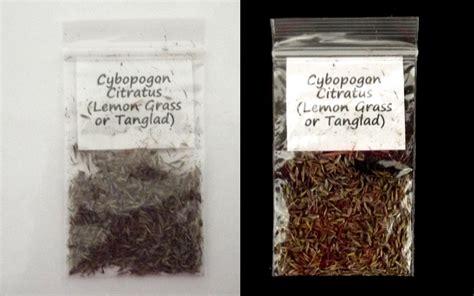 Lemon Grass Cymbopogon Citratus Seeds