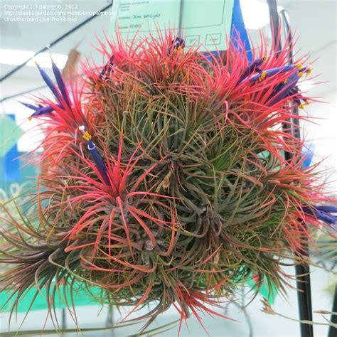 plantfiles pictures tillandsia bromeliad species air